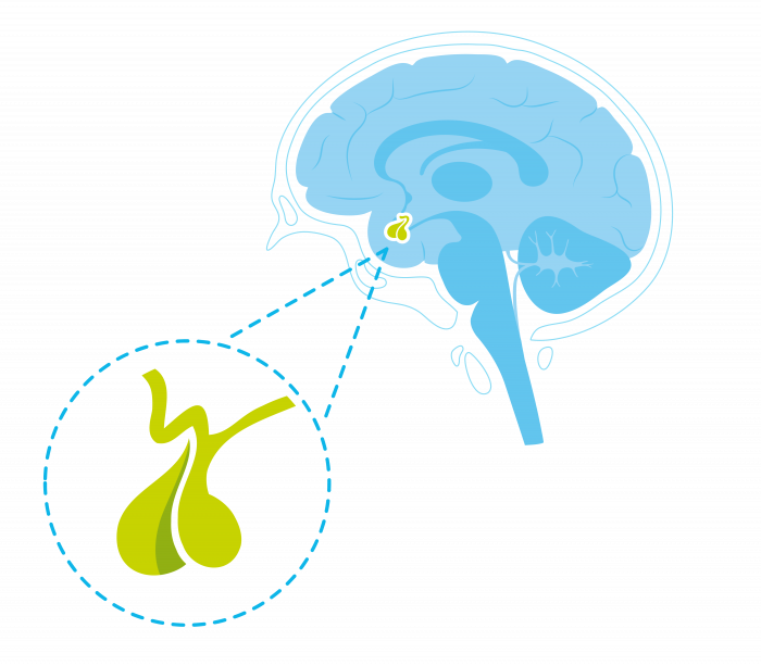 Voor- en achterkwab van de hypofyse